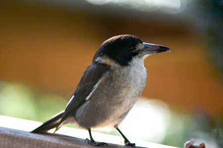A butcher bird is standing on a wooden rail. He is turned to one side, and the hook on his beak is clearly visible.
