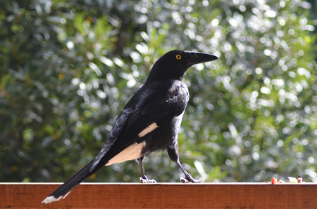 A currawong is being fed on a wooden fence. He is standing in profile, against a background of green. His feathers are a brilliant black with white on his wings, belly and tail, and yellow around his eye.
