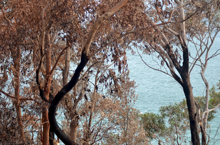Trees in an Australian forest have been burnt by a bush fire. Some of the trunks are black, and burnt seed pods are on some branches. There is one tree with green leaves. The ocean can be seen through the trees.