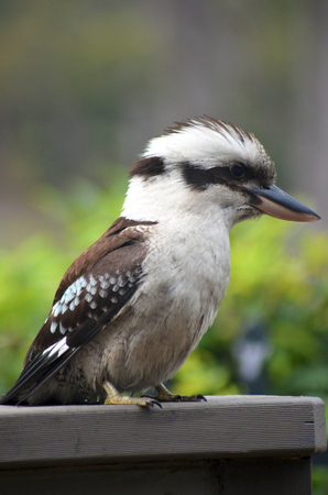 A close-up shot of a kookaburra sitting on a wooden fence. His head is profie, showing his strong beak. The background is blurred green.