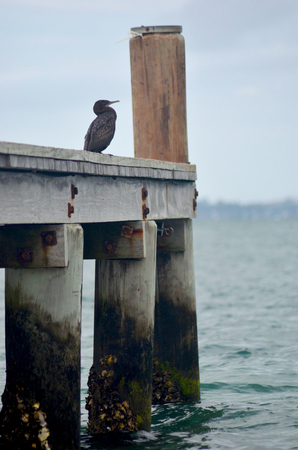 A grey cormorant is sitting on a wooden pier. The lower part of the pier is covered in moss and barnacles. The sky is overcast, and a headland is in the distance. Stock Photo
