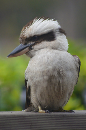 A kookaburra is sitting on a wooden fence. His head is turned to the side, and his beak is clearly visible. The  background is soft green.