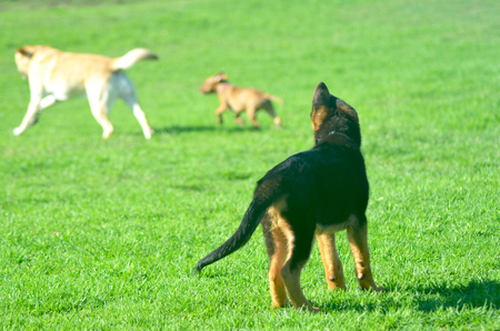 A German Shepherd puppy is standing with his back to the camera. Only one ear is standing erect. He is watching two other dogs run over some grass. Stock Photo