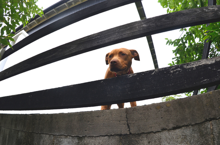A brown puppy with a red collar is looking through the slats of a black wooden fence. The fence appears curved as a fisheye lens was used. The white wall of a house is the background.