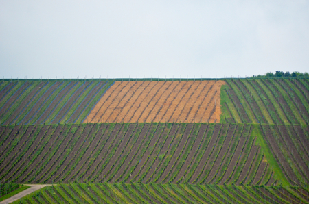 A hillside is covered with vineyards. The grapevines form an abstract pattern of vertical and diagonal lines. The sky is blue.