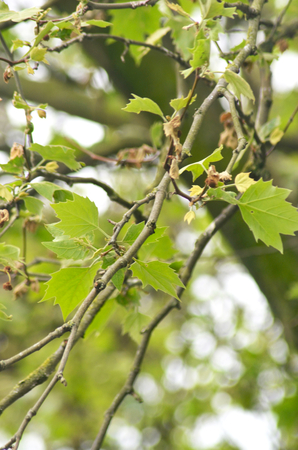 Small branches of a tree are covered with young green leaves. The trunk of the tree can just be seen. Stock Photo