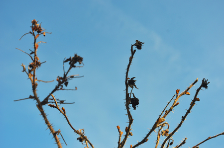 The bare branches of a bush are seen against a clear blue sky. They are covered with sharp spikes and dead flower-heads, plus some new buds. Stock Photo