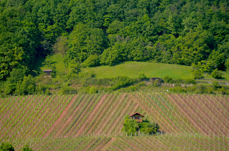 A small farmhouse and a few trees are in the middle of a vineyard. The vines have been planted in diagonal patterns. Behind rises a hill, covered in forest.