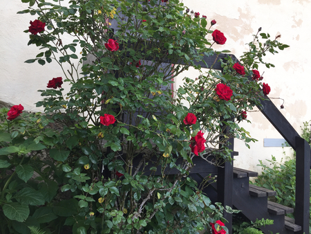 A rose bush covered with red flowers is growing over some wooden stairs. These lead to a wooden door in a white-washed wall.