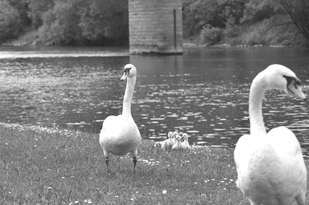 Two white swans are walking up a grassy bank, a cluster of cygnets behind them. Small flowers are in the grass, which runs down to a river with bushes and trees on the far side. A brick pylon is in the water.