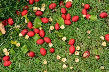 Red seed pods from a tree have fallen onto green grass. A few have cracked open, and a few others have started to rot.