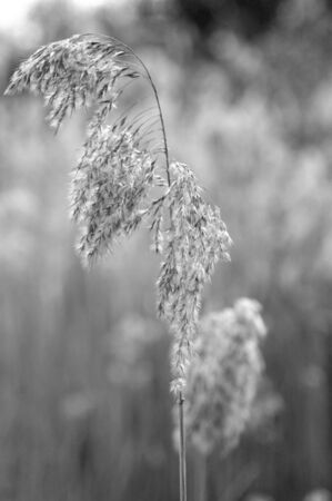 A stalk of wild grass is covered in seed pods and soft white hairs. It is seen against a background of similar grases which are out of focus. The photograph is in black and white.
