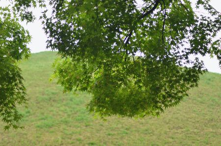 Branches of a maple tree frame the view onto a mound of grass. The mound is part of an ancient burial site in South Korea. Stock Photo