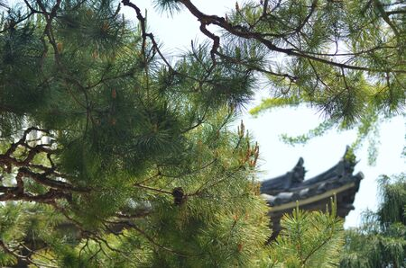 The corner of a temple roof in Japan is just visible through some pine trees. The branches are covered with green pine needles, and a few small cones. The roof curves upwars. The background sky is clear.