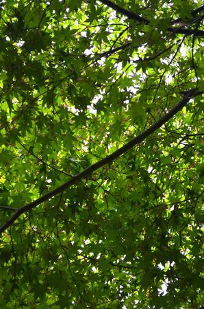 Looking up into the green leaves and tiny red flowers of a tree.