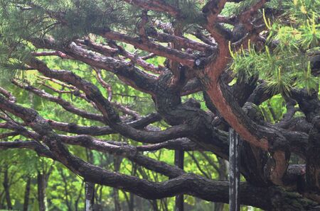 The branches of a Japanese pine tree have become gnarled and twisted with age. They are supported by wooden poles. Green pine needles with flower stems are on the smaller branches.