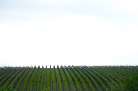 A vineyard is planted in vertical lines, giving stripes of bright green and brown against a cloudy sky. Stock Photo
