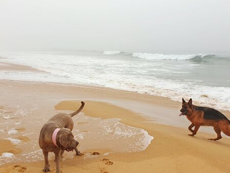 A German Shepherd and a Neopolitan Mastiff are playing on a beach. The mastiff has a pink collar. Waves are breaking aroud them, and the sky is overcast. they have left footprints on the sand. Stock Photo
