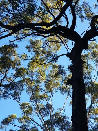 Viewed from below, the trunk and branches of a eucalyptus tree are silhouetted against a clear blue sky. Other eucalyptus trees covered in green leaves are int eh background.