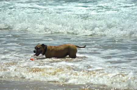 A large brown dog with a collar is retrieving a red ball from the waves at the beach. He is surrouded by the white foam of breaking waves.
