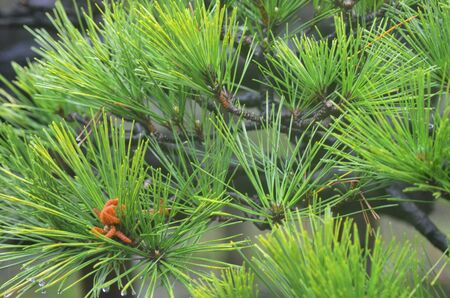 A close-up photograph of a black Japanese pine tree, detailing the needle shaped leaves. The black branches contrast with the green of the leaves. A few orange cones are on one branch.