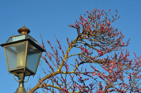 The lamp of an old-fashioned street lamp is made of glass and gold-coloured metal. Behind it is a an old tree, its branches covered in lichen and hundreds of small pink flowers. Behind is a blue sky.