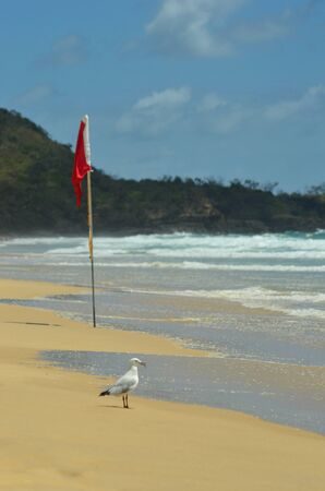 A seagull is standing on a beach, holding its catch in its beak. A red flag warns against swimming. Rough waves are breaking near a bush-covered headland. The sky is blue. Stock Photo