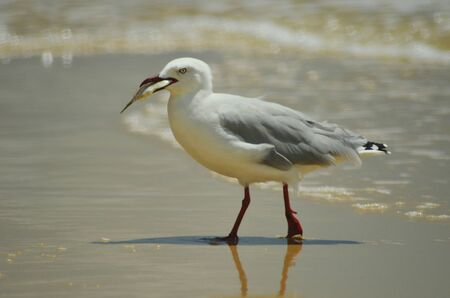 A seagull is seen in profile, walking on a beach with a small fish in its beak. Waves are breaking around him. His legs and beak are red.
