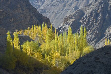 A copse of poplar trees is in a valley surrounded by barren mountain slopes. They are bathed in shunlight but surrounded by shadow. The leaves hve started to turn yellow.