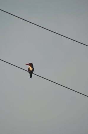 A kingfisher is sitting on one of two parallel overhead electricity wires. He is dark in colour, with a white chest and red beak. His head is in profile. The wires run diagonally, sky is overcast.