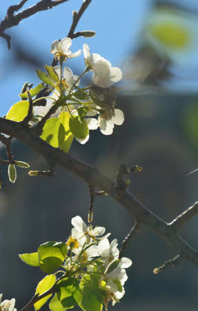Some buds on the branch of a fruit tree have opened into green leaves and white flowers. Others are yet to open. The background is out of focus, and the sky is blue. Stock Photo