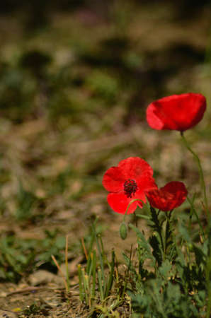 Three poppies, one in full bloom and facing towards the camera, are in a grass-covered field. The photograph has a short depth of field.