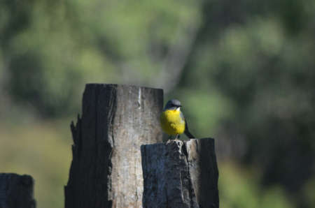 A small bird with a yellow chest is facing the camera. He is standing on an old sawn-off wooden stump, with another two stumps behind him. With the focus on the foreground, the background is a blur of green. Stock Photo