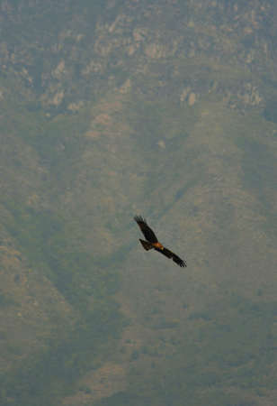 An eagle is soaring in front of a forest covered mountain. He is brown in colour, and sunlight is falling on his head. The feathers on his wing tips are extended.