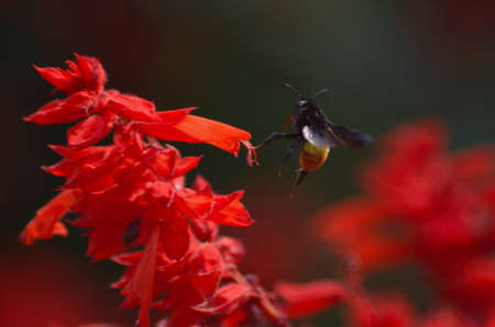 A bee, with both proboscis and stinger visible, is about to land on a stem of a plant covered in bright red yellow flowers. The bee is black with a yellow abdomen. Her wings are blurred from movement. Stock Photo