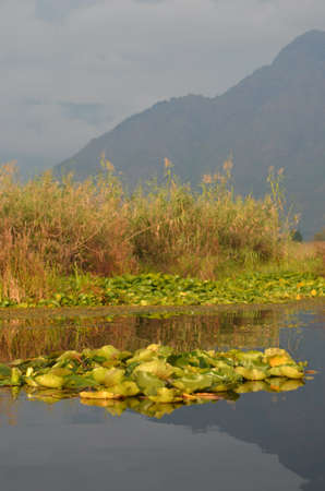 Waterplants with large flat green leaves are floating on a lake, among some tall reeds. The water is still, reflecting the plants, a distant mountain and an overcast sky.