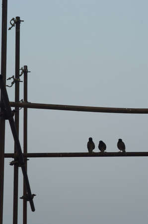 Three Indian myna birds are perched on some metal scaffolding. The scaffolding has vertical and horizontal beams. The birds and metal are silhouetted against an early morning sky. Stock Photo