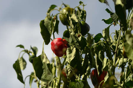 Sunlight falls on a red capsicum, while a few others are in shadow. The plants appear dry, the green leaves withered. The sky is blue with white clouds.