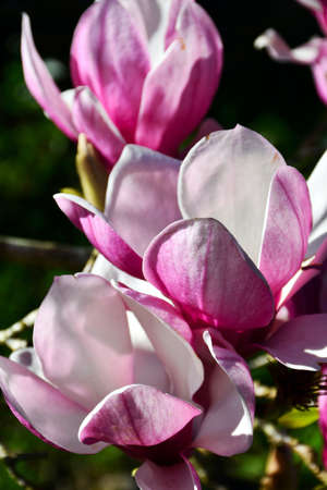 Magnolia flowers have opened, ranging from dark to pale pink on the outer side of the petal but white within.