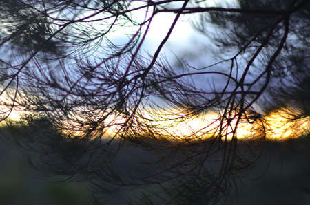 The branches of a sheoak (casuarina) are covered with fine needle-shaped leaves. Drak clouds and a forest are in the background, wihtt a stretch of sky turned golden from the sunset.