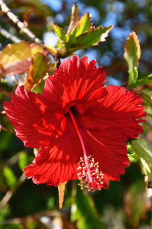 A red hibiscus flower is on the end of a branch, surrounded by green leaves. It has five petals and the anthers (pollen pods) on the stamen are clearly visible. Stock Photo