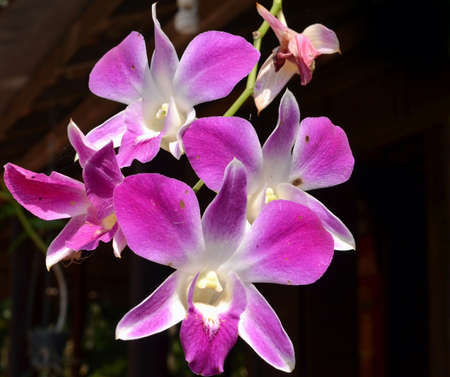 Four orchid flowers hanging from a stem. The petals are light purple fading to pink, with white at their centre. The background is dark, and a spider is on one petal.