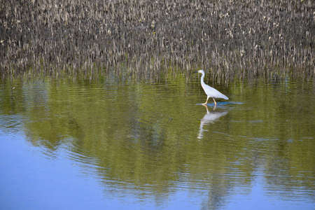 A grey heron is walking through a pond, creating ripples. Brown reeds are to one side. Some trees and the sky are reflected in the water. Stock Photo