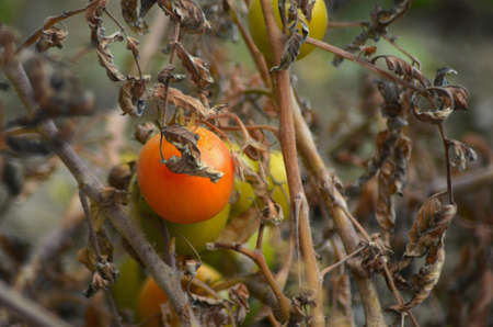 A brown leaf half-covers a red tomato. Other unripe tomatoes are on the plant, which is brown and withered.
