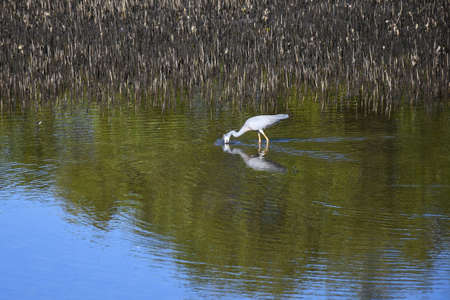 A grey heron is fishing in a pond. His head is hidden by splashes of water. Ripples surround him. Trees are reflected in the water, and brown reeds fill the water behind him. Stock Photo