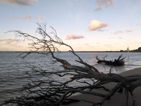 The dark branches and trunk of a fallen tree are seen against the colours of a cloudy sky at sunset. Another tree trunk has been washed onto the beach. A tree-covered headland is the distance. Stock Photo