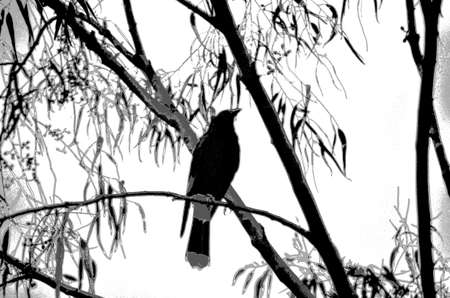 A currawong or magpie is sitting in the branch of a tree, surrounded by leaves. The image is black and white, in the style of a sketch