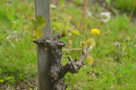 A grapevine has been pruned back to the trunk, which is covered in new spring growth. It leans against a wooden stake. Grasses and dandelions are in the background.