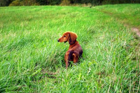 Dachshund in grass photo