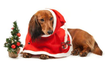 Dog with christmas clothing over white photo